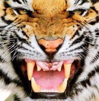 tiger_eyes_2