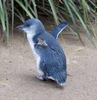 Blu_Penguin