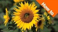 sunflower77